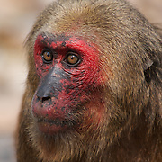 Wild Stump-tailed macaque, Macaca arctoides.