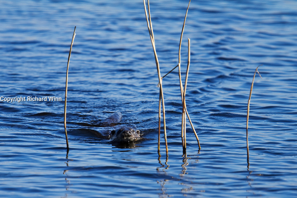 Probable dog otter swimming across Decoy Lake at Shapwick Heath.