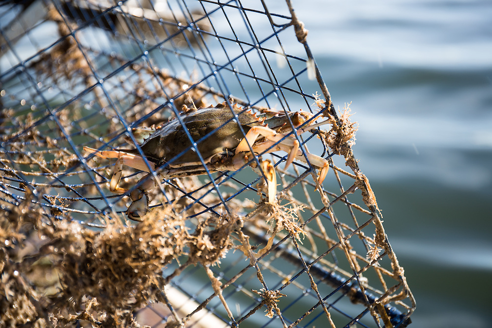 Chesapeake Blue Crabs still in the crab trap | October 11, 2015