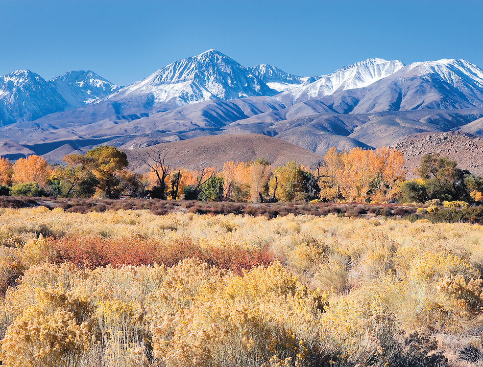 Brilliant Autumn Meadow Below Sierra Nevada Mts, Owens Valley, California