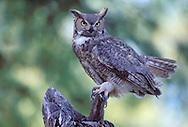 Great Horned Owl - Bubo virginianus