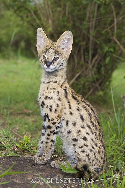 Serval<br /> Felis serval<br /> 12 week old orphan serval kitten<br /> Tanzania