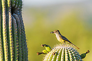 A Brown-crested Flycatcher (Myiarchus tyrannulus) perches before bringing an insect to its nest in a Saguaro  (Carnegiea gigantea). (Arizona). (Arizona)