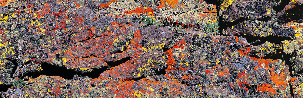 Map lichen grows red, orange and yellow on the rocks of Steens Mountain, Oregon. ©Ric Ergenbright