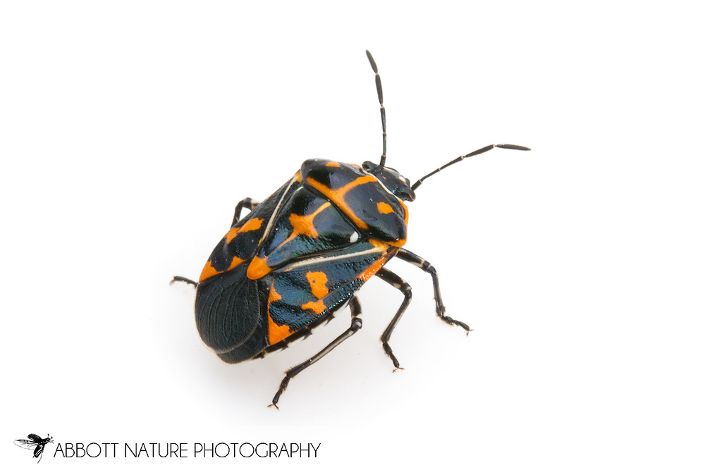 Harlequin Bug (Murgantia histrionica)<br /> CALIFORNIA: Kern Co.<br /> Stine Cove on Lake Isabella; near Porterville<br /> 10.June.2012<br /> J.C. Abbott #2600 &amp; K.K. Abbott