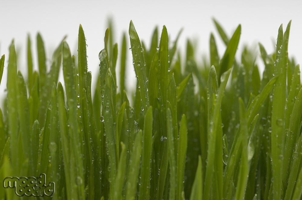 Wheatgrass, close-up