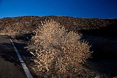 Snakeweed (Gutierrezia sarothrae)