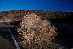 Snakeweed (Gutierrezia sarothrae) along side a road, Petroglyph National Monument, Albuquerque, New Mexico, United States of America