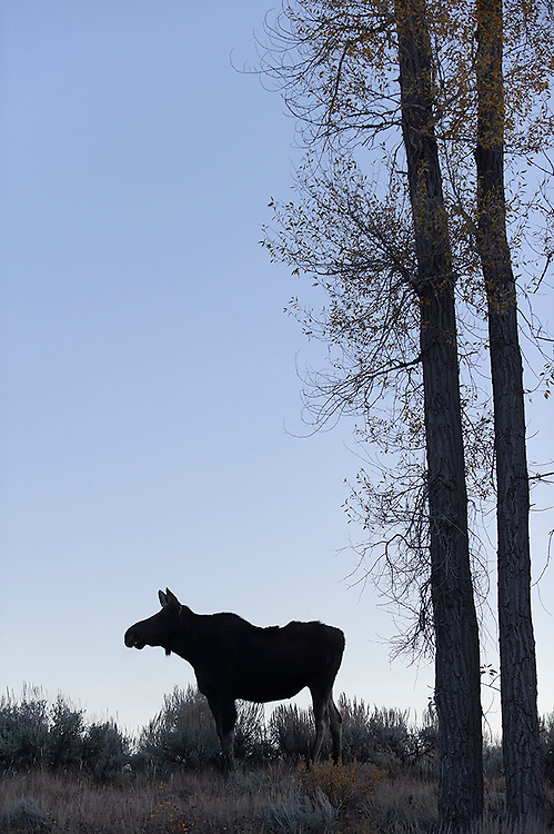Silhouetted Cow Moose - Alces alces shirasi - Grand Teton National Park, Wyoming