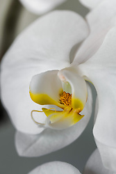 White Phaelenopsis orchid, philippinensis#8