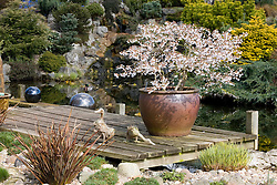 The pond and rock bank in John Massey's garden with Prunus incisa 'Kojo-no-mai' flowering in a large pot on the deck.  Decorative duck ornaments and slate pillars. Waterfall