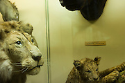 A stuffed lion and his young in the AFrica Museum of Belgium