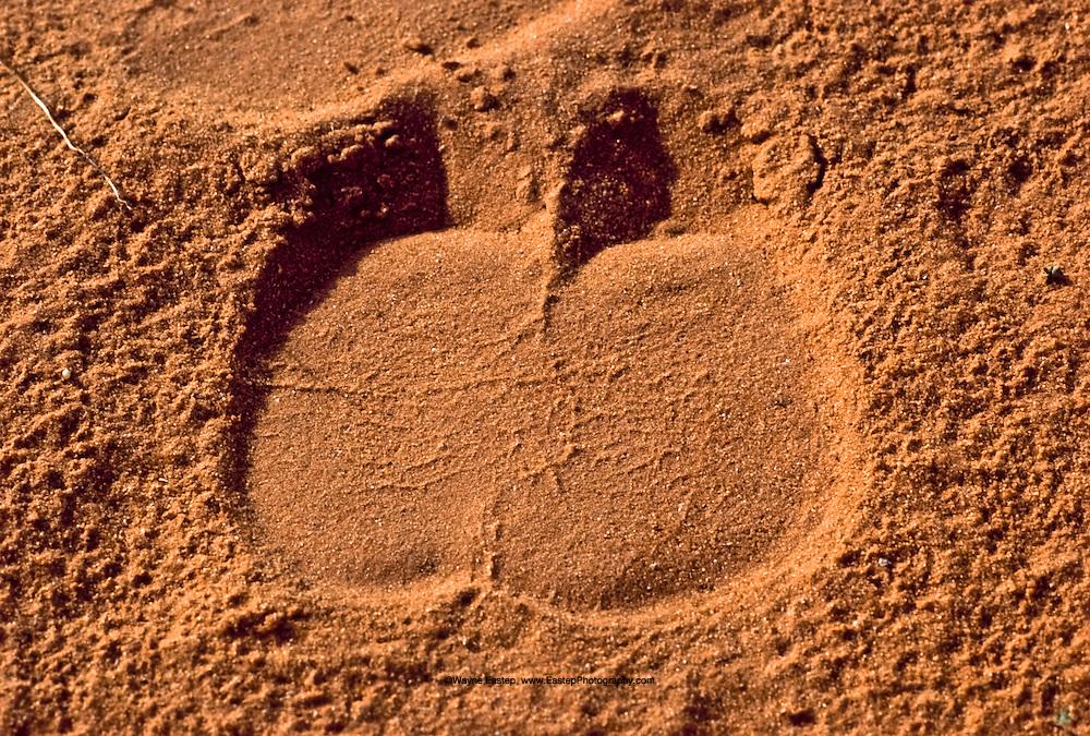 Camel pad print in the desert, Dahna Sands, Saudi Arabia