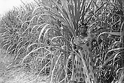 woman in a field of sugarcane with  curlers......