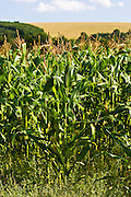 Maize crop in Foy, Herefordshire, England, United Kingdom