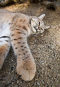 A trained bobcat (Lynx rufus) appears to have larger feet, and longer legs, thanks to the distortion of a wide angle lens. Captive.