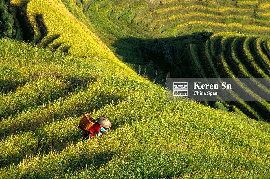 Zhuang ethnic minority girl harvests rice in the terraced rice paddy, Longsheng, Guangxi Province, China