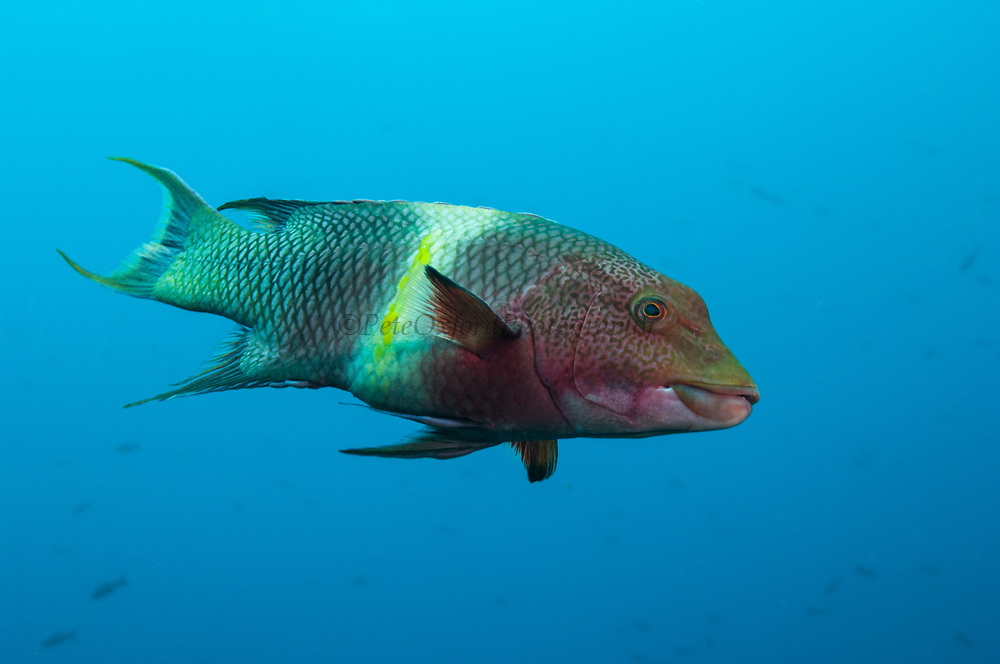 Streamer Hogfish (Bodianus diplotaenia) or Mexican hogfish<br /> off of Wolf Island<br /> GALAPAGOS ISLANDS<br /> ECUADOR.  South America<br /> RANGE &amp; HABITAT: Abundant entire archipelago. Chile north to Baja including offshore islands. They inhabit rocky reefs, slopes and mixed areas of boulders and sand. Common between 15-65 feet. Juveniles may act as cleaners.