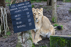 © Licensed to London News Pictures. 02/01/2020. London, UK. An Asiatic lioness, HEIDI sits next to the count board during the annual stocktake at London Zoo. London Zoo undertakes its annual stocktaking which is carried out at the the start of each year. Every animal in London Zoo is weighed and measured and the statistics is shared with other Zoos across the world. Photo credit: Dinendra Haria/LNP
