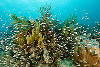 MIxed school of cardinalfish around corals, Mapia Atoll, West Papua, Indonesia.