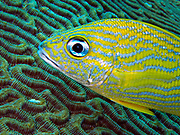 A Blue Striped Grunt (Haemulon sciurus) passes over a head of Brain Coral (Diploria strigose) 45 feet (14 m) below the Gulf of Mexico off the Riviera Maya.  The Blue Striped Grunt was first described by the English naturalist George Shaw in 1803 and is native to the western Atlantic Ocean ranging from Florida, Gulf of Mexico, and the Caribbean down to Brazil.  The Blue Striped Grunt can travel in schools of up to 1,000 individuals.  The fish commonly grows to a length 10 inches (25 cm,) attaining a maximum recorded length of 18 inches (46 cm) and maximum reported age of 12 years. These grunts can weigh up to 1.6 pounds (750 grams).   The name Blue Striped Grunt is derived from its blue stripes and its habit of grunting underwater by grinding its pharyngeal teeth and having the swim bladder act as a resonator which amplifies the sound.  Its diet consists mainly of shrimp, annelids, bivalves, and crustaceans.