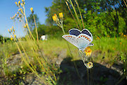 Common Blue (Polyommatus icarus) | Autobahn A7 bei Elfershausen -Hauhechelbläuling, -Männchen (Polyommatus icarus syn. Lycaena icarus)