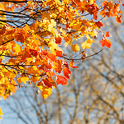 Autumn in Ireland, 2012: The warm Autumn Sunshines of the moulticoloured leaves on a tree. The rich red and yellow colours stand out against the sky and branches in the background