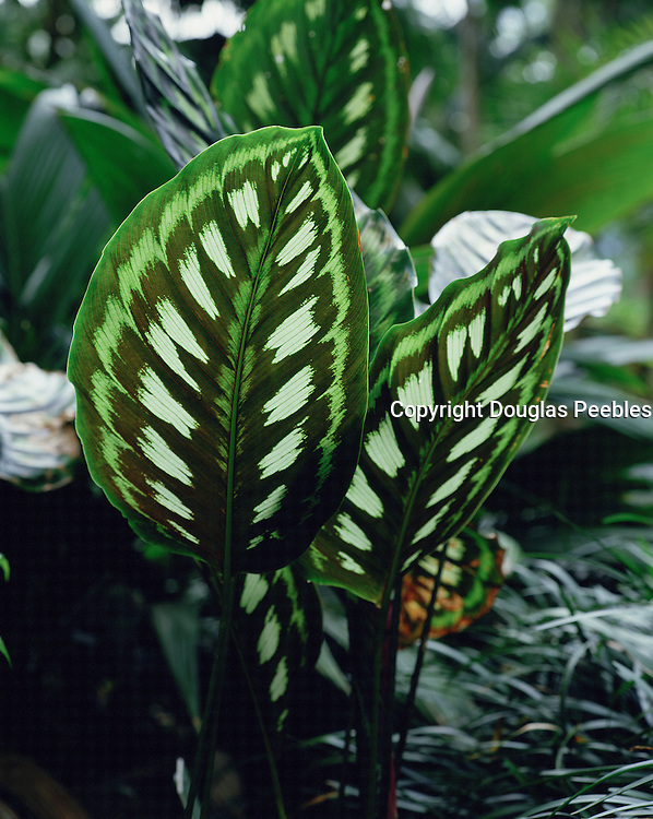 Windows plant, Calathea Libbyana<br />