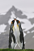 Courting king penguins go threw the courting dance.