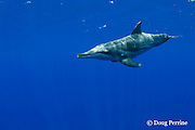 rough-toothed dolphin, Steno bredanensis, Kona, Hawaii ( Central Pacific Ocean )