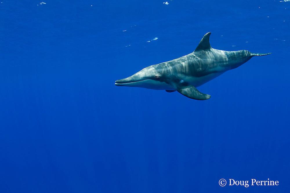 rough-toothed dolphin, Steno bredanensis, Kona, Hawaii ( Central Pacific Ocean )