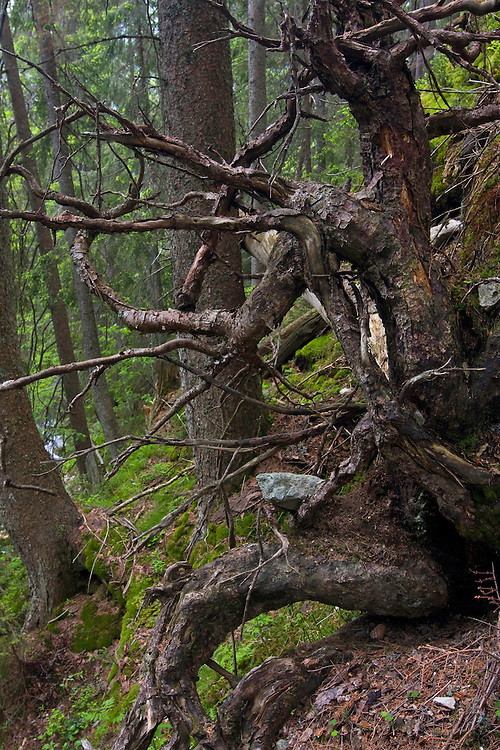 Roots of dead Spruce (Picea abies) tree in pristine forest in the Kouprova valley. Western Tatras, Slovakia. June 2009. Mission: Ticha