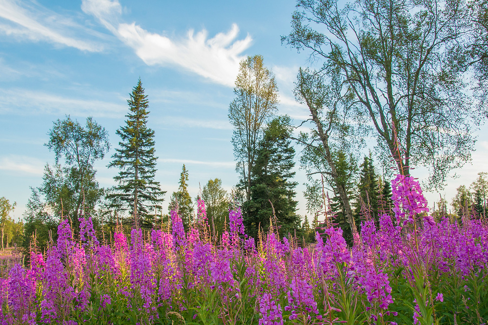 A field of fireweed being lit by the approaching sunset.