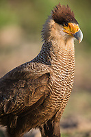 Portrait of a crested caracara, Caracara cheriway, in the Pantanal region of Brazil.