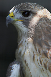 05 June 2005 <br /> <br /> Red-Tailed Hawk<br /> <br /> Miller Park Zoo, Bloomington, Il (Photo by Alan Look)