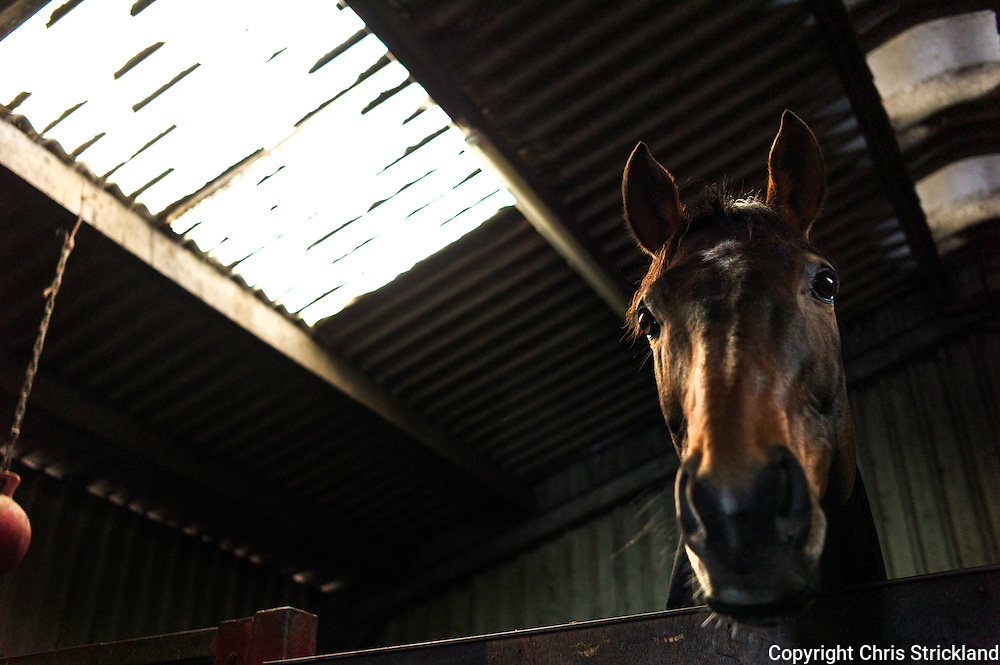 Racehorse Oscar Stanley trained by Di Walton at home near Bonchester Bridge.