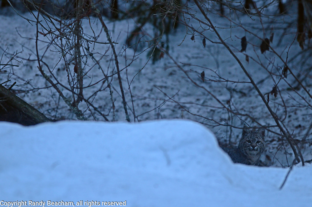Wild bobcat in a conifer forest at dawn in early spring. Yaak Valley in the Purcell Mountains, northwest Montana.