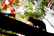 Uberlandia_MG, Brasil...Macaco no galho de uma arvore em Uberlandia, Minas Gerais...Macaco in a branch tree in Uberlandia, Minas Gerais...Foto: BRUNO MAGALHAES /  NITRO