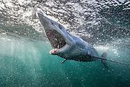 Isurus oxyrinchus (Mako Shark)