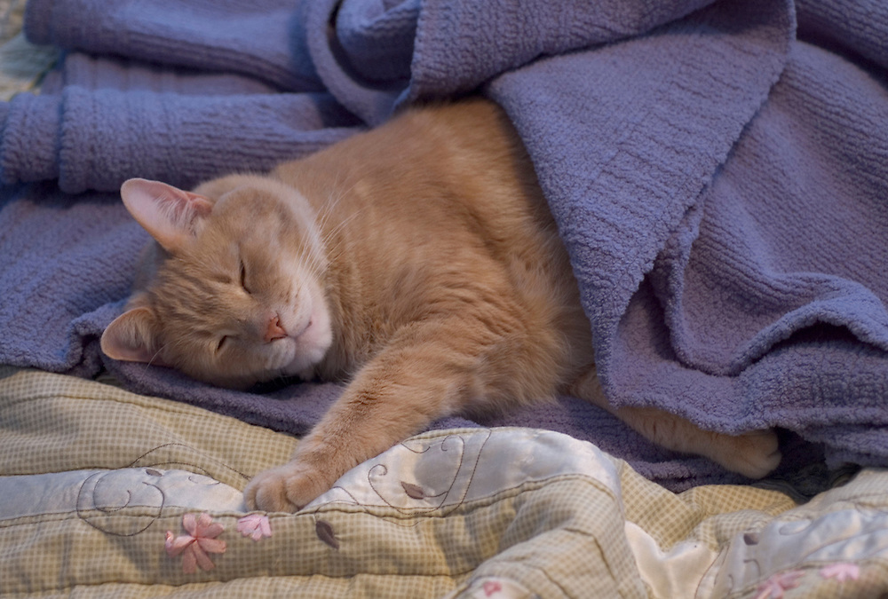 An orange tabby cat sleeps while covered with a blue blanket.