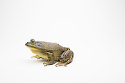 A young male American bullfrog (Lithobates catesbeianus) - an invasive species in the western North America.