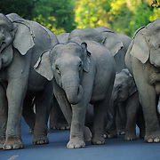 Asian Elephant (Elephas maximus) herd on the road in Khao Yai national park, Thailand