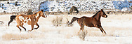 Two horses running in snow-covered field bordered by hills in rural New Mexico landscape, © 2009 David A. Ponton [Prints to 8x24, 10x30 or 12x36 in. with no cropping]