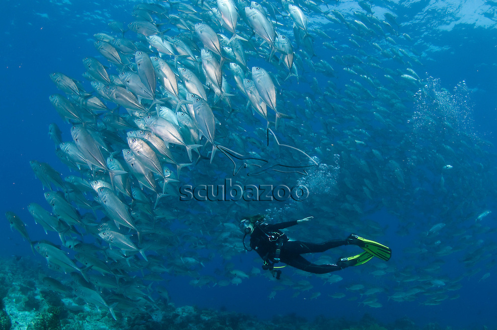 Diver and school of Bigeye Trevallies, Caranx sexfasciatus, over reef, profile, side view, Vaavu Atoll, The Maldives