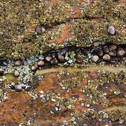 Barnicles and periwinkles on rock at Wonderland in Acadia National Park.