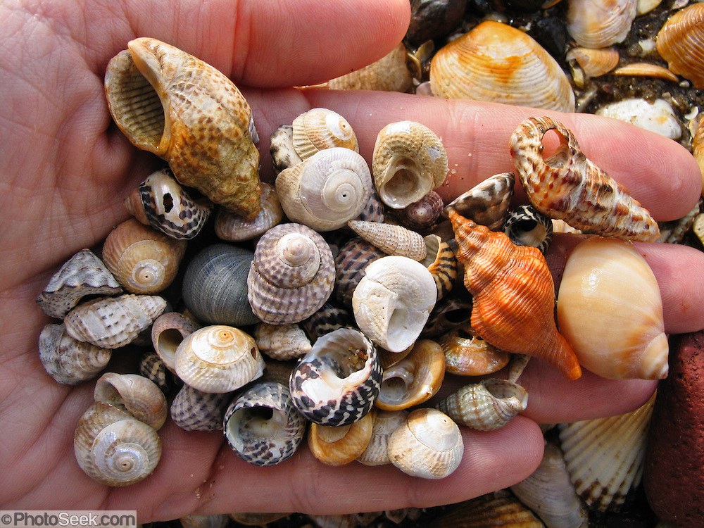 A hand holds sea shells from a beach of Phillip Island, Victoria, Australia.
