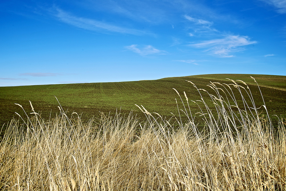 A hill of blue grass is surrounded by a blue sky and tall grass blowing in the wind Monday, Jan. 9, 2012 near Tensed, Idaho.