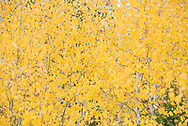 Golden aspen trees in autumn on Buttermilk Mountain in Aspen, Colorado.