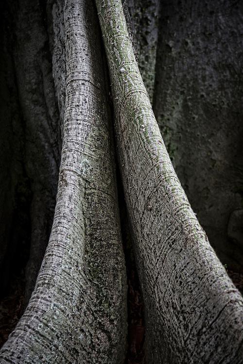 Close-up detail of Kapok tree. ©PF Bentley