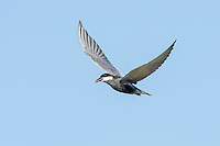 Whiskered Tern in Flight, Agulhas Plain, Overberg, Western Cape, South Africa